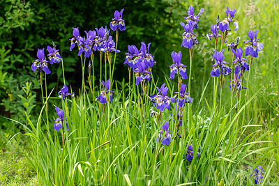 Blue irises in bloom, in a garden in spring, Moselle, France ∞ Iris bleus en fleur, dans un jardin, France, Moselle, printemps