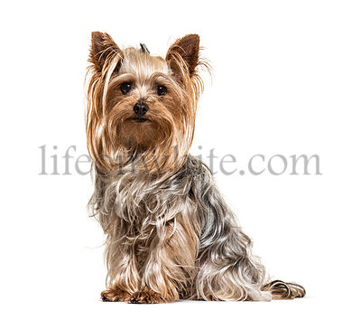 Yorkshire Terrier, looking at the camera, isolated on white