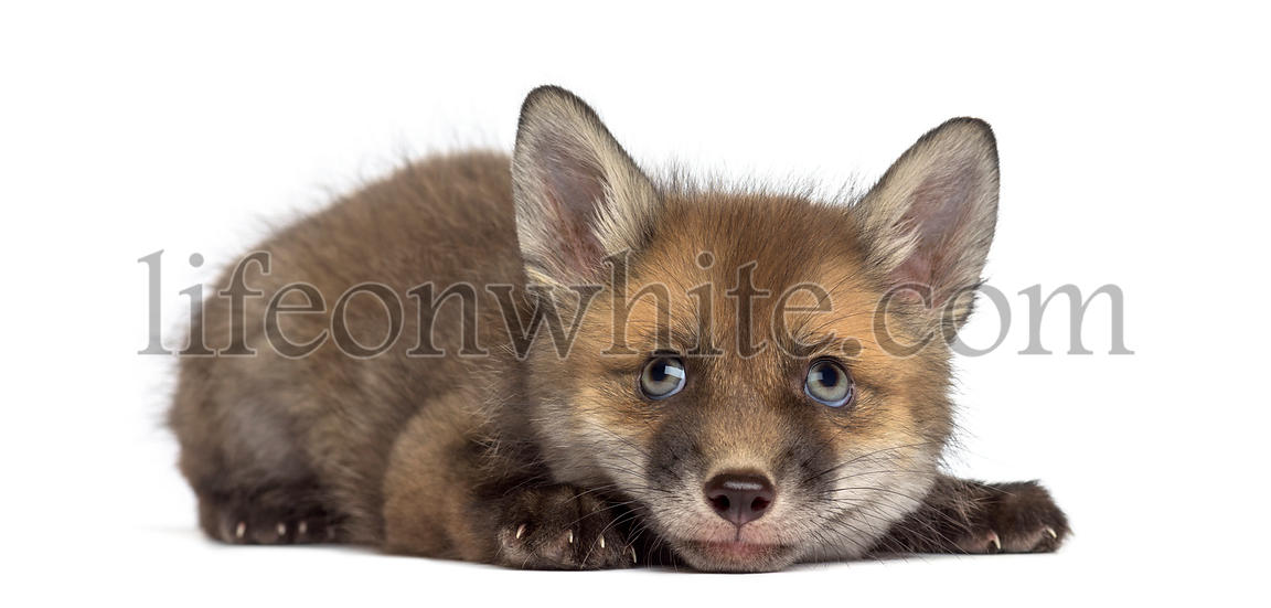 Fox cub (7 weeks old) lying in front of a white background