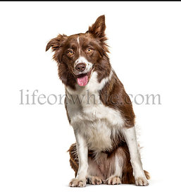 Happy panting Border Collie, isolated on white