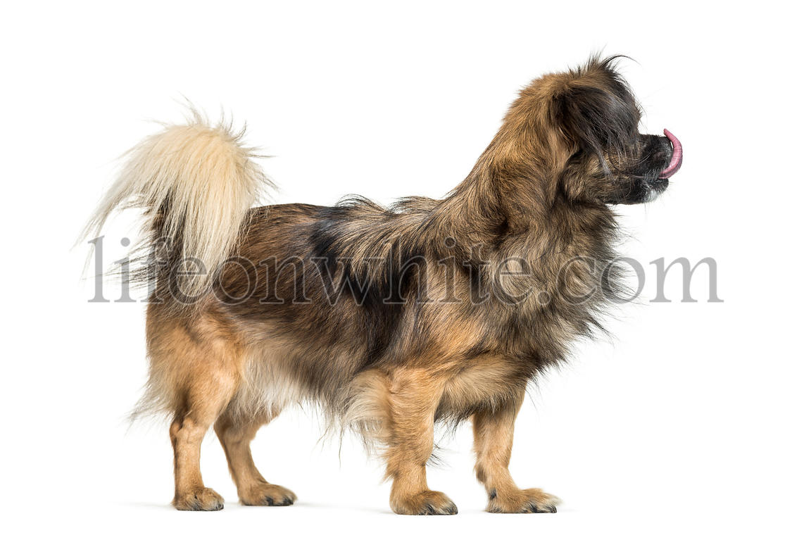 Tibetan spaniel in front of white background