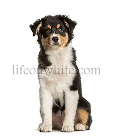 Australian Shepherd, 5 months, sitting against white background