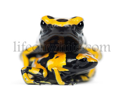 Yellow-Banded Poison Dart Frogs, also known as a Yellow-Headed Poison Dart Frog and Bumblebee Poison Frog, Dendrobates leucom...