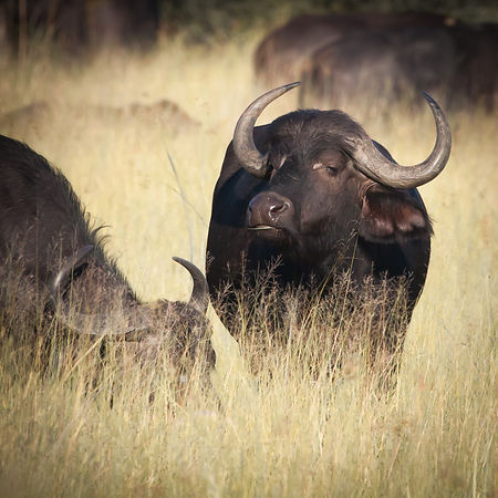 Contemplative Cape Buffalo, Duba Plains, Botswana 2011