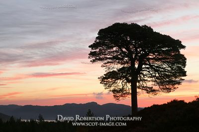 Image - Scots Pine tree and sunrise, Glen Affric, Scotland