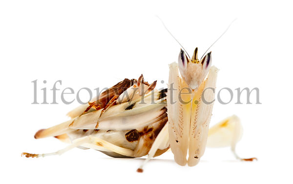 Male and female hymenopus coronatus also known as Malaysian orchid mantis, in front of white background