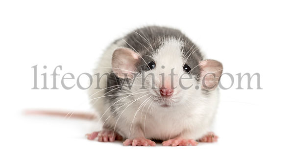 Front view of a rat lying, isolated on white