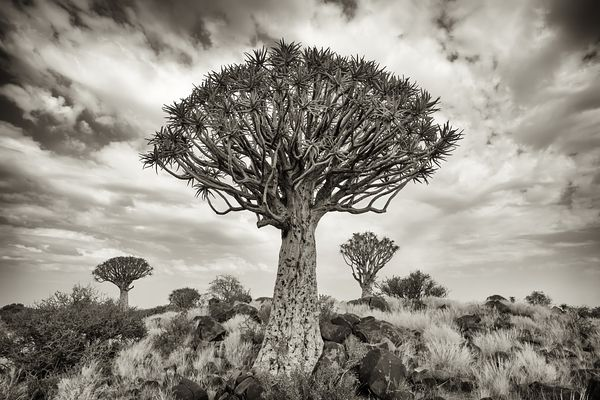 Quiver tree (Aloë dichotoma) on a clouded day in Karas region, Southern Namibia.