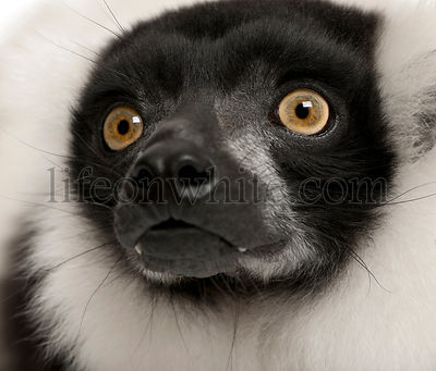Northern black-and-white ruffed lemur, Varecia variegata, 24 years old, close-up