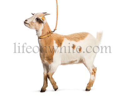 Goat on leash in front of white background