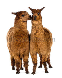 Two Alpacas, one is smiling and the other is looking at him against white background