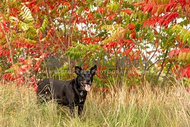 A black dog standing in a fall field