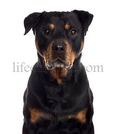 Close up of a Rottweiler, isolated on white