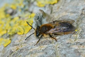 Closeup of a female, mellow miner , Andrena mitis on lichen covered wood