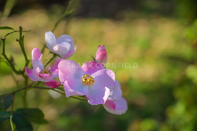 Prickly rose, Rosa acicularis), a very fragrant flower. Pink wild rose flower closeup, natural background.