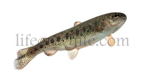 Rainbow trout swimming, isolated on white