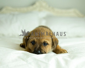 Tan puppy with black mask buries face in blanket on white bed