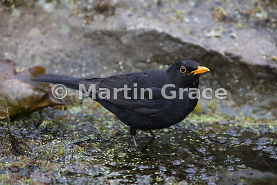 Male Common Blackbird (Turdus merula) standing in the water of the garden pond, Lake District National Park, Cumbria, England