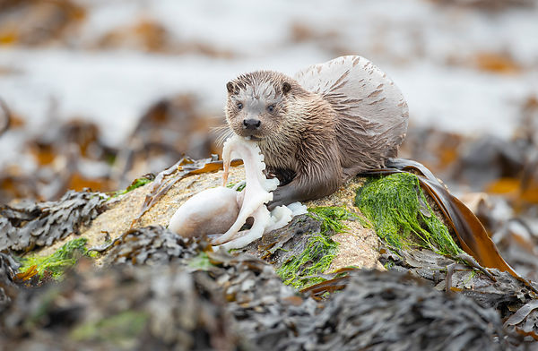 Otter with octopus