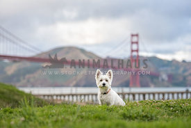 westie sitting in grass in front of Golden Gate Bridge