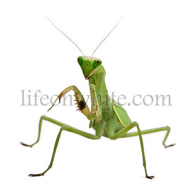 Stagmatoptera Sp, Stagmatoptera, praying mantis