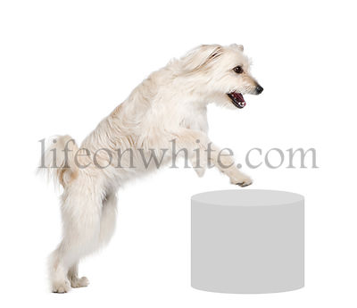 Pyrenean Shepherd, 2 years old, leaping near pedestal in front of white background