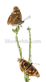 Old Lesser Purple Emperor butterflies on a plant, Apatura ilia, isolated on white