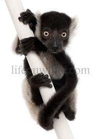 Young Northern black-and-white ruffed lemur, Varecia variegata subcincta, 2 months old, perched on pole in front of white bac...