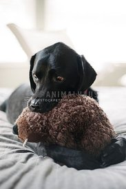 A black lab snuggling a stuffed beaver toy on a bed