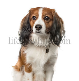 Close-up of a Kooikerhondje sitting, 6 years old, isolated on white