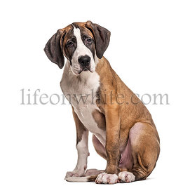 Young Great Dane, isolated on white