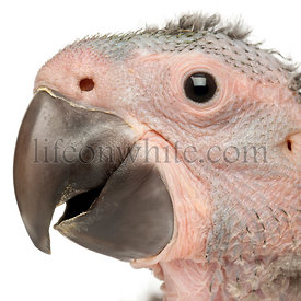 Close-up of Great Green Macaw, Ara ambiguus, 1 and a half months old, in front of white background