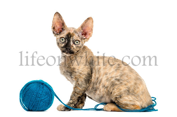 Devon rex playing with a wool ball isolated on white
