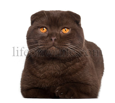 Portrait of Scottish Fold cat, 1 year old, in front of white background