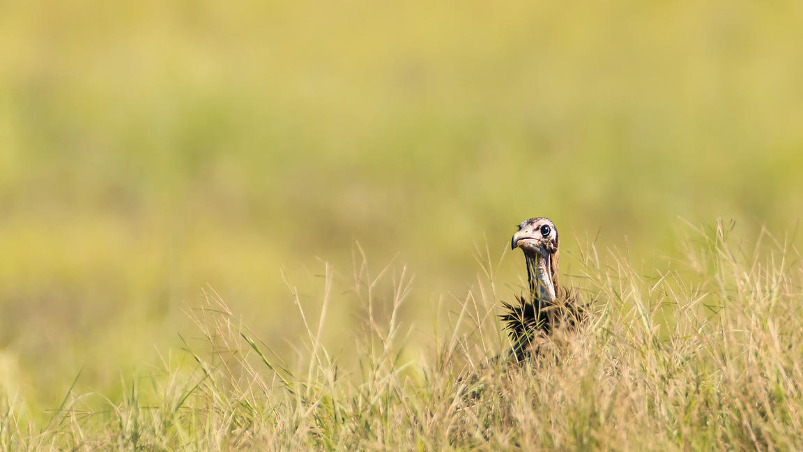 Lappet-Faced Vulture in High Grass