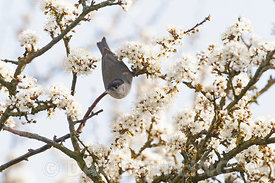 Eurasian Blackcap Sylvia atricapilla male in Blackthorn blossom in early spring North Norfolk