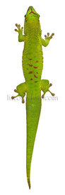 High angle view of Madagascar day gecko, Phelsuma madagascariensis grandis, 1 year old, in front of white background
