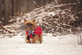 Yorkie wearing red coat and scarf standing in the snow