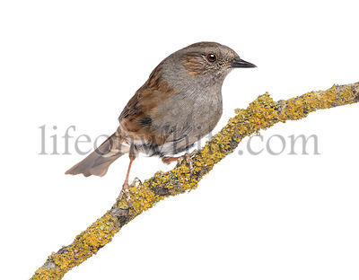 Gobemouche perched on a branch - Muscicapa striata, isolated on white