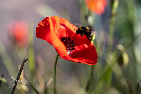 Vol de bourdon sur fleur de coquelicot..Flying bumblebee on poppy flower.