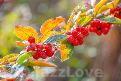 Red berries on twig with leaves changing colour in autumn.