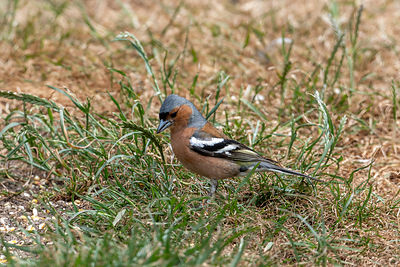 Male chaffinch looking for food on a dried up lawn.