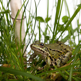 Common European frog or Edible Frog, Rana esculenta in grass, with mushroom
