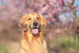 close up of smiling golden retriever in front of pink blooming peach trees