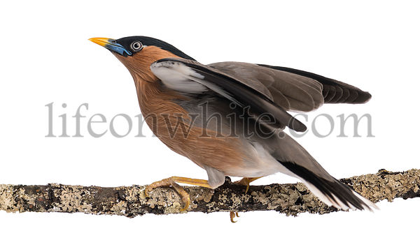 Brahminy Myna fly away from a branch - Sturnia pagodarum - isolated on white