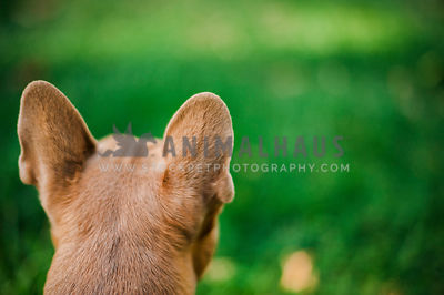 The back of a dog's head while he looks out across a green lawn