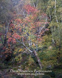 Image - Rowan Tree in forest, Torridon, Wester Ross, Highland, Scotland