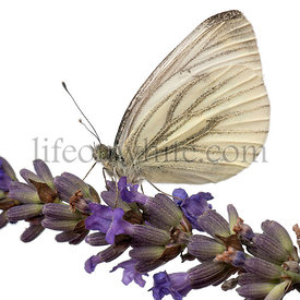 Green-veined White, Pieris napi, on flower in front of white background