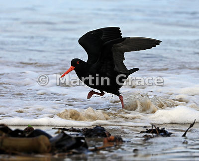Dark morph Variable Oystercatcher (Black Oystercatcher) (Haematopus unicolor) skipping through the surf on Butterfield Beach,...