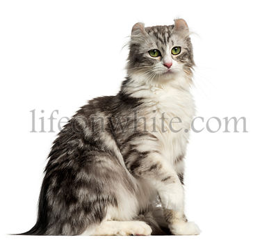 Side view of an American Curl sitting, isolated on white